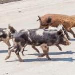 Wild_Pigs-t