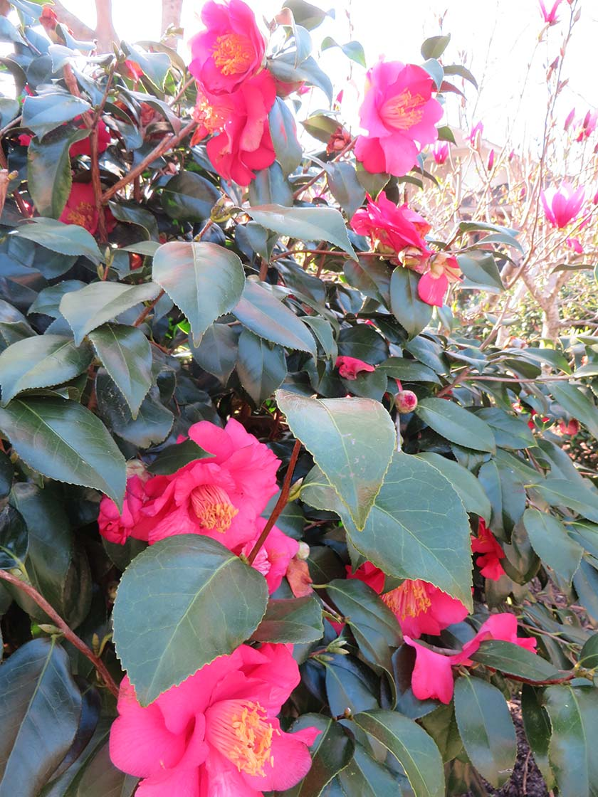 pink_bush
