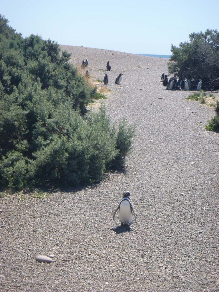 South American Cruise: Penguin Rookery at Punta Tombo