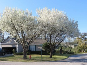Blossoming Bradford pear trees