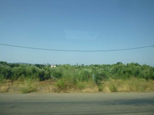 olive groves in katakolon greece