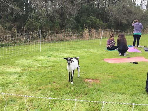 baby goat at Goat Yoga